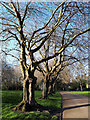 SE2734 : Gnarled trees, Armley Park by Stephen Craven