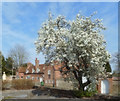 SU6089 : Pear Tree in the Car Park by Des Blenkinsopp