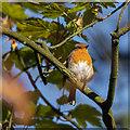 J5081 : Robin, Bangor by Rossographer