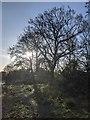 TF0820 : Bare oaks by Bob Harvey