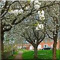 ST2986 : Wild cherry trees, Gaer Estate, Newport by Robin Drayton