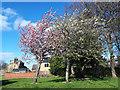 SE2435 : Blossom in Bramley Park by Stephen Craven