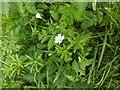 TF0820 : Stellaria holostea by Bob Harvey