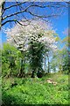 TQ5785 : Wild Cherry in a Spring Wood Coppice by Glyn Baker