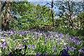 TQ5782 : Bluebells & Seat in Belhus C.P by Glyn Baker