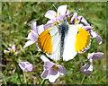 NJ3151 : Orange Tip Butterfly on Cuckoo Flower by Anne Burgess