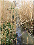 NZ3573 : Reed Bed, Brierdene Burn, Whitley Bay by Geoff Holland