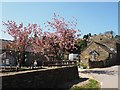 SK3183 : Flowering cherry trees at Whirlow Hall Farm by Graham Hogg