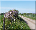 SU6084 : Flowering Hedge, Little Stoke by Des Blenkinsopp