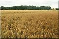SO5475 : Wheat by Squirrel Lane by Derek Harper