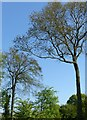 SK6336 : Tall trees, Cotgrave Golf Club by Alan Murray-Rust