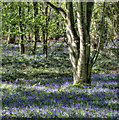 SK5969 : Trees and bluebells in Sherwood Forest by Andy Stephenson