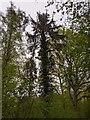 TF0820 : An ivy-clad tree by Bob Harvey