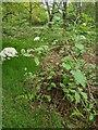 TF0820 : Viburnum lantana by Bob Harvey