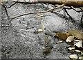 NS5574 : Grey heron by Richard Sutcliffe