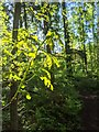 TF0820 : Backlit Oak Shoots by Bob Harvey