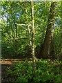 TF0820 : Small Oak Tree by Bob Harvey