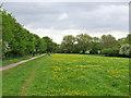 TL4356 : Grantchester Meadows: buttercups by John Sutton