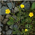 SK6339 : Creeping buttercup (Ranunculus repens) by Alan Murray-Rust
