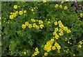 SK6339 : Ragwort (Jacobaea vulgaris) by Alan Murray-Rust
