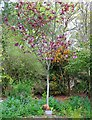 NO3901 : Purple leaf plum tree by Bill Kasman