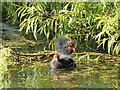 SD7807 : Young Coots on the Manchester, Bolton and Bury Canal by David Dixon