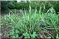 NZ1365 : Pendulous Sedge (Carex pendula), Close House by Andrew Curtis