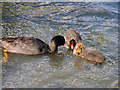 SD7807 : Coot Family by David Dixon