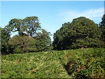 TQ1872 : Minor path through bracken, Richmond Park by Robin Webster