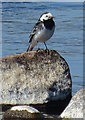 NJ3461 : Pied Wagtail (Motacilla alba) by Anne Burgess