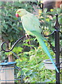 TQ2081 : Parakeet on bird feeder, North Acton by David Hawgood