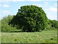 SO7842 : Oak tree in May by Philip Halling
