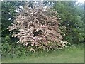 TQ2187 : Hawthorn bush in Woodfield Park, Kingsbury by David Howard
