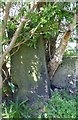 SE2523 : Stone post with benchmark now within a bush beside footpath by Roger Templeman