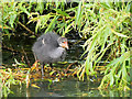 SD7807 : Coot Chick on the Manchester, Bolton and Bury Canal by David Dixon