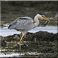 J5283 : Heron, Ballymacormick Point by Rossographer