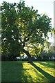 SK4735 : Bent oak tree by David Lally