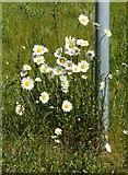 SK6636 : Super-Moon Daisies (Leucanthemum vulgare) by Alan Murray-Rust