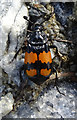 NJ3556 : Nicrophorus vespilloides by Anne Burgess