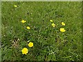 SK6141 : Carlton Cemetery Flowers – Creeping Buttercup (Ranunculus repens) by Alan Murray-Rust