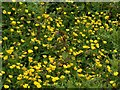 SK6141 : Carlton Cemetery Flowers – Common Buttercup (Ranunculus acris) by Alan Murray-Rust