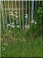 SK6141 : Carlton Cemetery Flowers – Cow Parsley (Anthriscus sylvestris) by Alan Murray-Rust