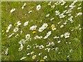 SK6141 : Carlton Cemetery Flowers – Ox-eye Daisy (Leucanthemum vulgare) by Alan Murray-Rust