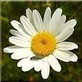 SK6141 : Carlton Cemetery Flowers – Ox-eye Daisy 13/21 by Alan Murray-Rust