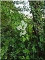 TF0820 : Hawthorn in hedgerow - 12 by Bob Harvey
