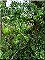 TF0820 : Hawthorn in hedgerow - 14 by Bob Harvey