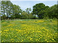 TQ6146 : Buttercups in a wildflower meadow near Tudeley by Marathon