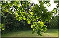 SX9371 : Oak leaves, Shaldon Approach Golf Course by Derek Harper