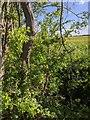 TF0820 : Gap in the hedge by Bob Harvey