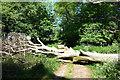SU7195 : Tree Down on the Ridgeway by Des Blenkinsopp